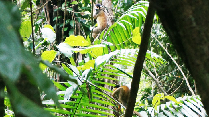 tambopata-monkeys