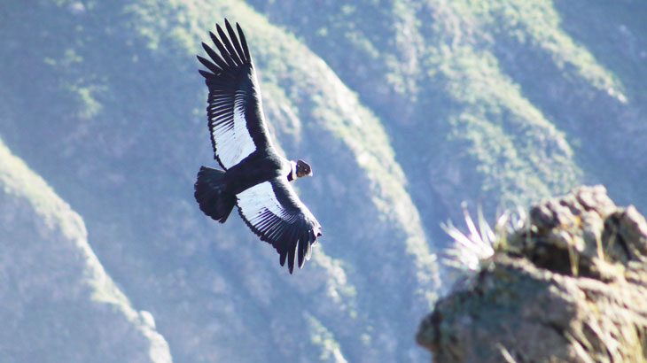 colca canyon trek condor