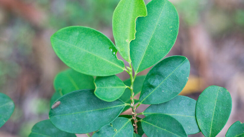 what is the coca leaf