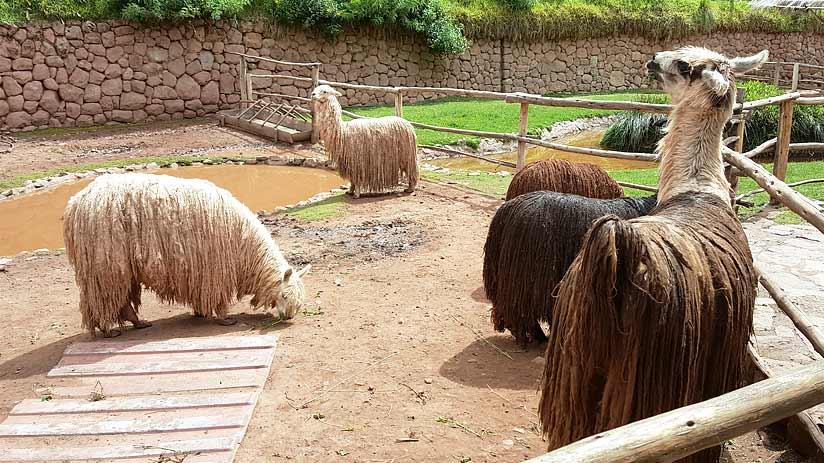 visit awanacancha alpacas