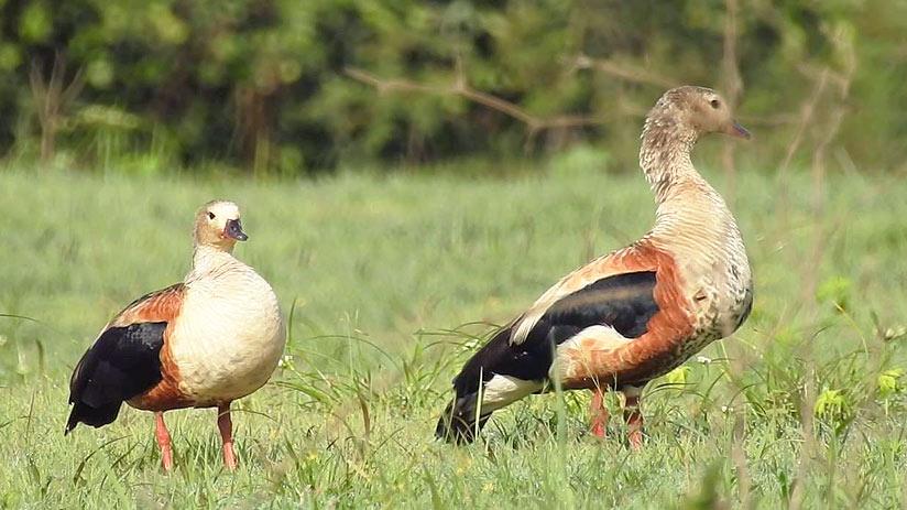 birds tambopata national reserve oricono goose