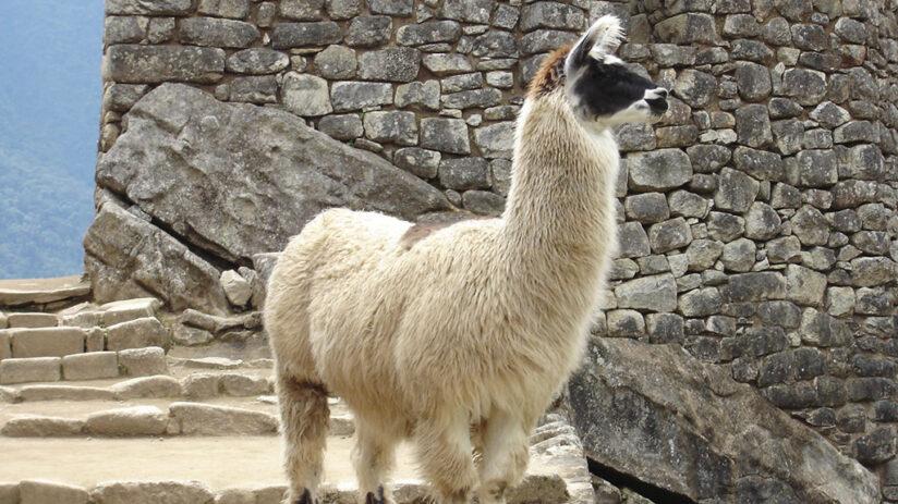difference between llamas alpacas