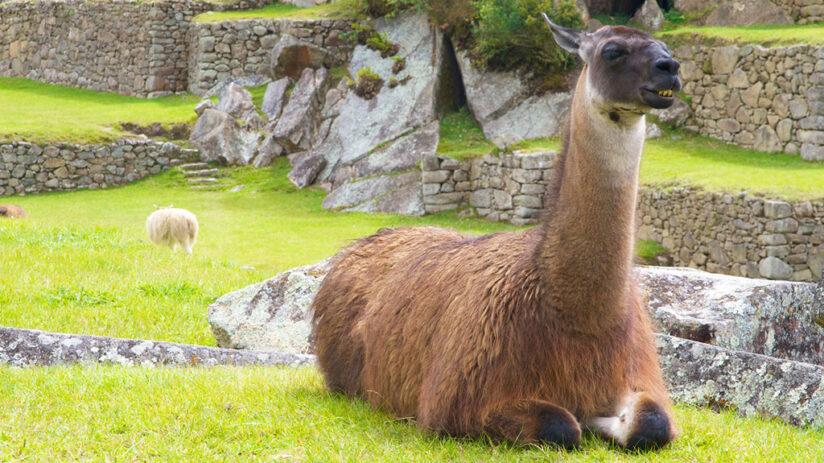 llamas alpacas find them machu picchu