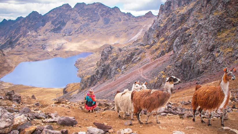 llamas alpacas peruvian andes