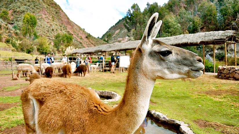 llamas alpacas sacred valley
