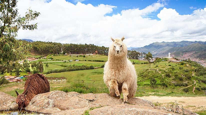 llamas alpacas sacsayhuaman cusco