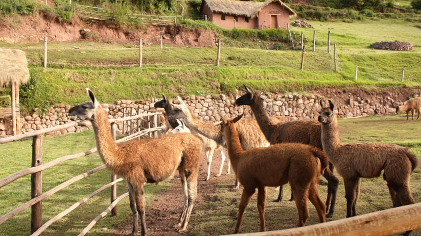 peru family tours and andean camelids