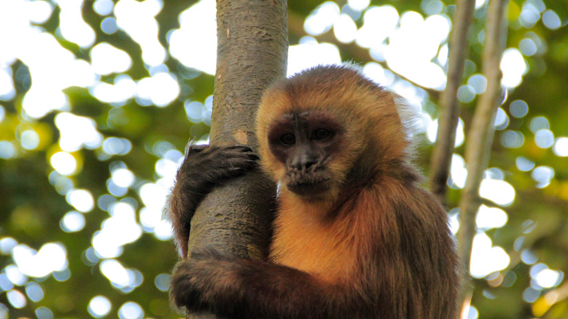visit peru and meet a capuchin monkey