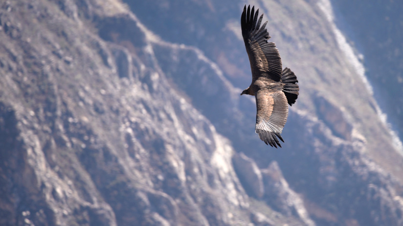 colca canyon flight of the condor