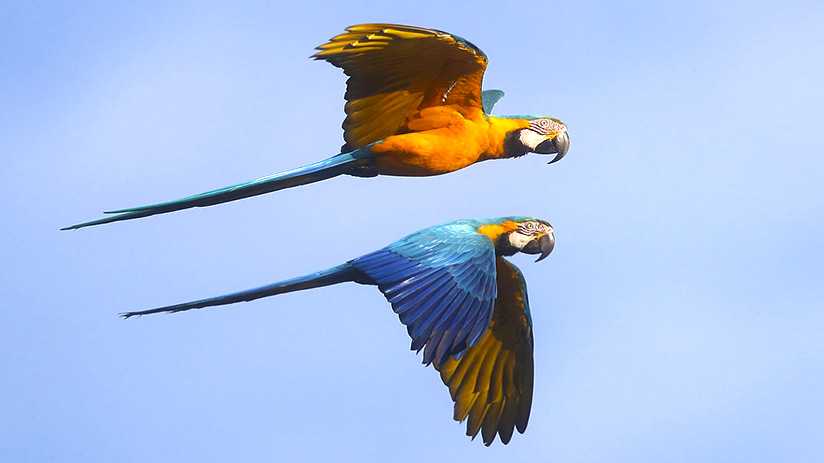 travel to tambopata birds flying