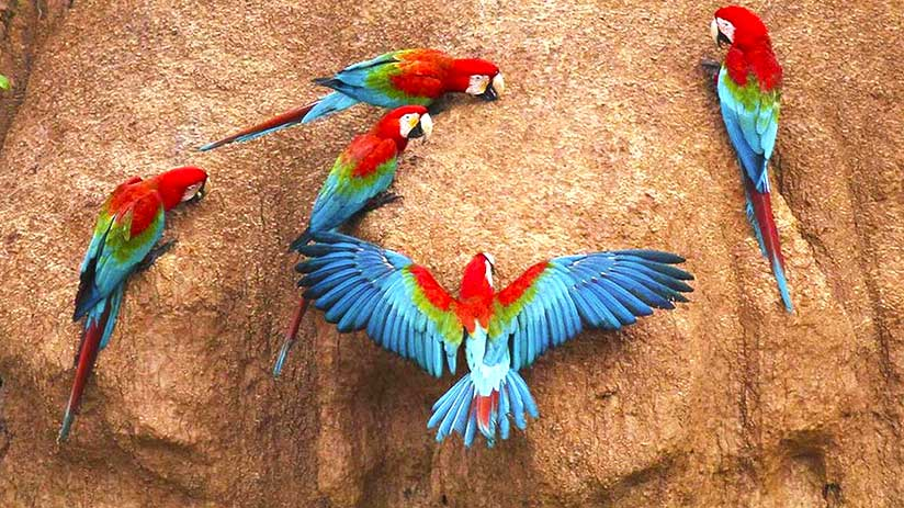 travel to tambopata macaws