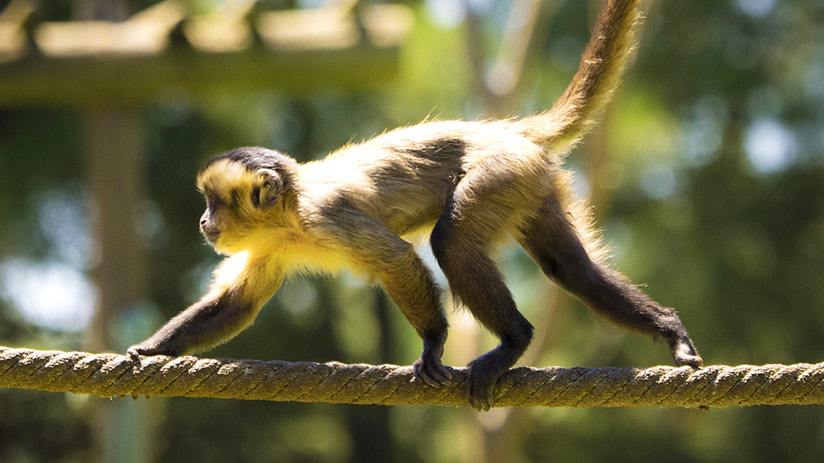travel to tambopata monkey in the jungle