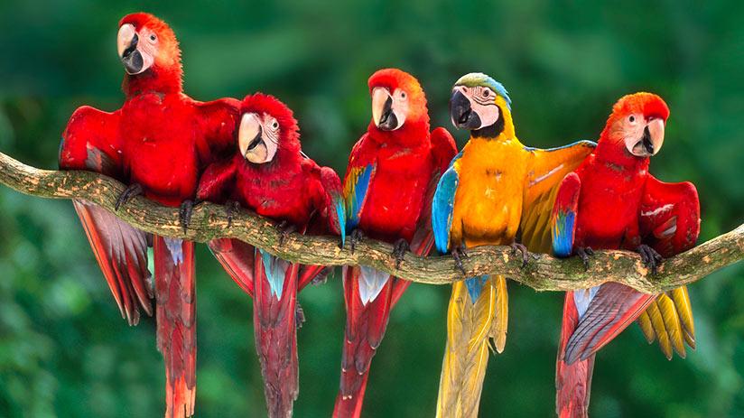 tambopata national reserve macaws