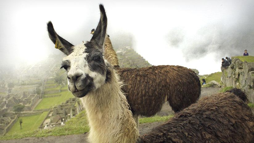 hiking in Peru fluffy llama