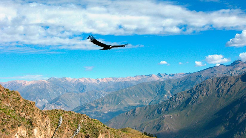 Colca Canyon condors of the andes