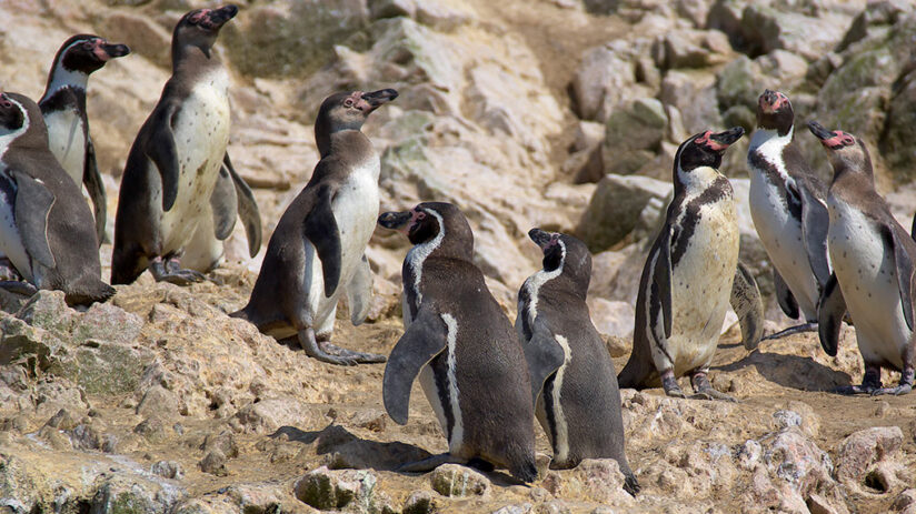 facts about peru pinguins peru