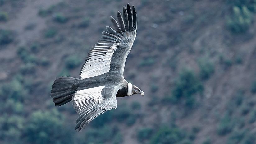 animals of peru andean condor