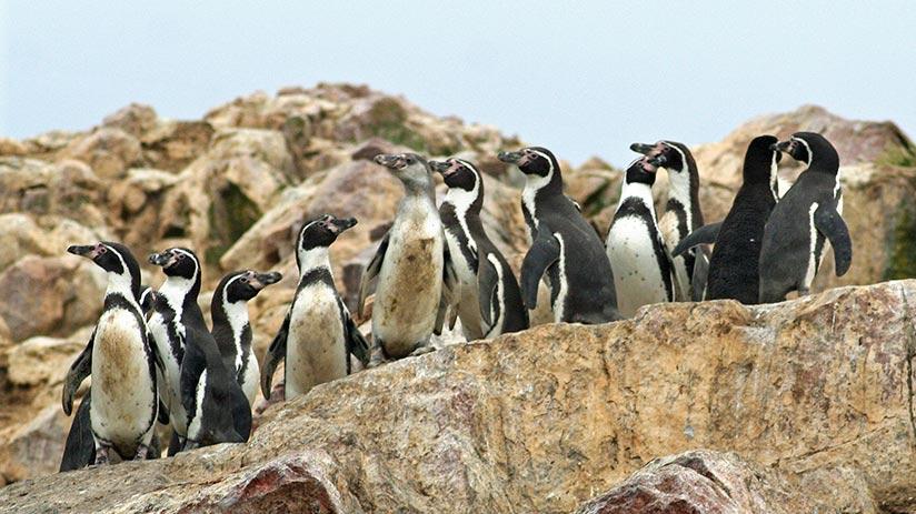 animals of peru humboldt penguin