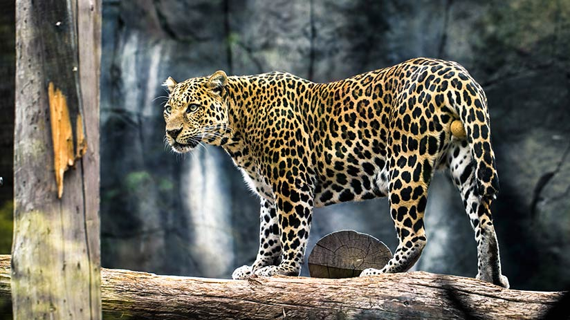 animals of peru jaguar