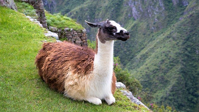 animals of peru llamas and alpacas