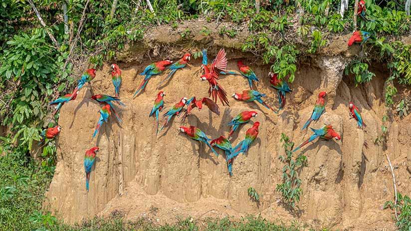 animals of peru macaws