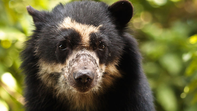 animals of peru spectacled bear