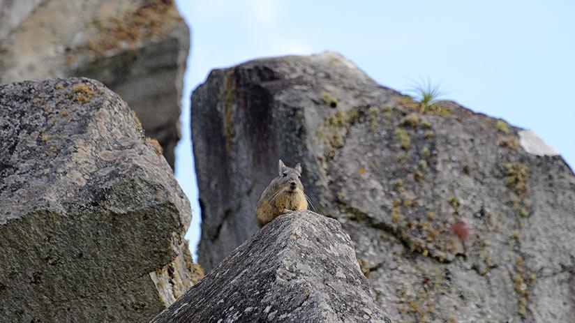 animals of peru vizcacha