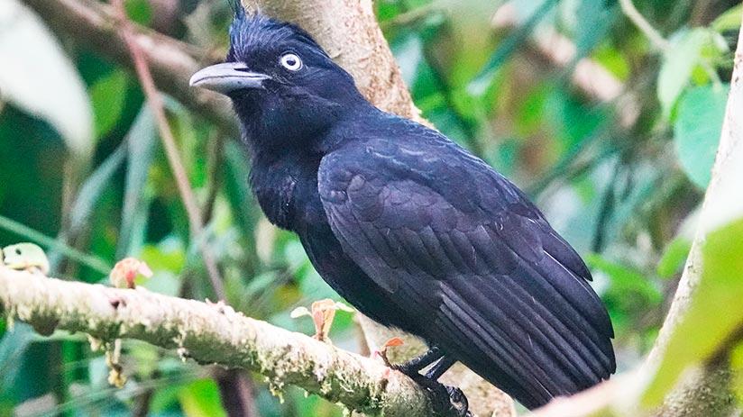 amazonian umbrellabird in the pacaya samiria national reserve