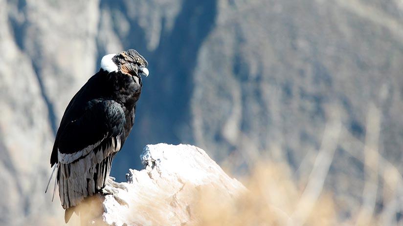 andean condor in the colca canyon