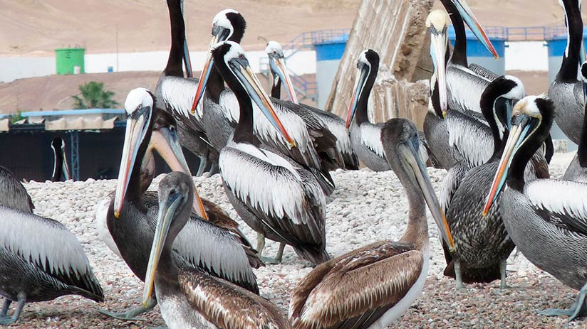 peruvian pelicans in the paracas reserve