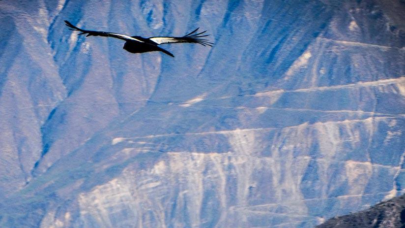 spot the andean condor