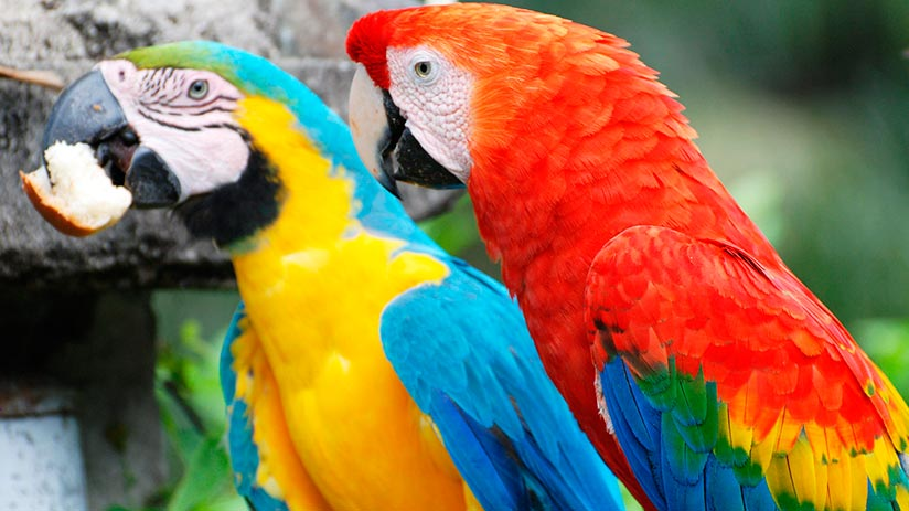macaws in tambopata national reserve