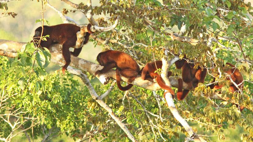 amazon rainforest animals in peru