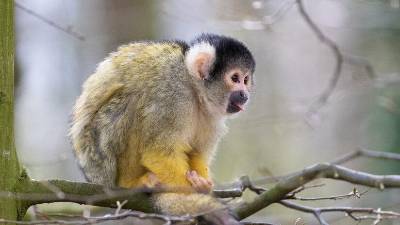 black capped squirrel monkey amazon rainforest animals