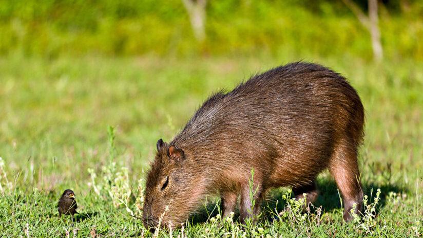 capybara amazon rainforest animals