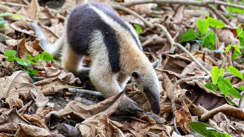 collared anteater amazon rainforest animals