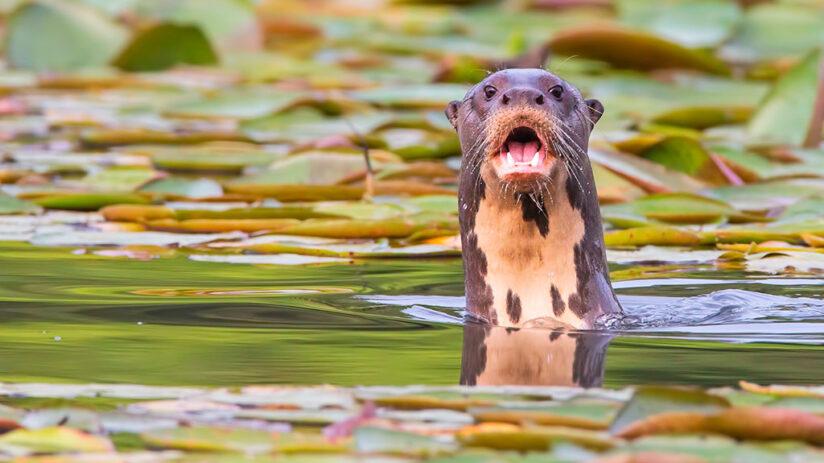 giant river otter amazon rainforest animals