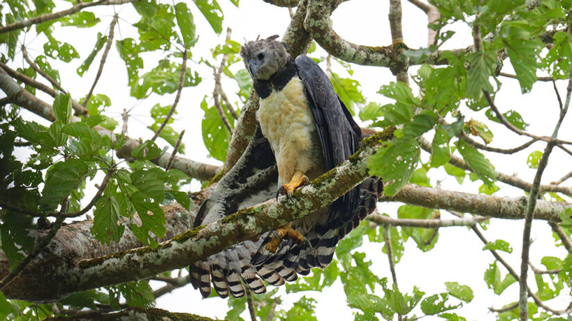 harpy eagle amazon rainforest animals