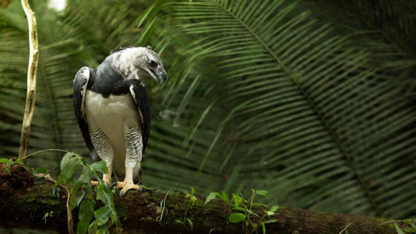 harpy eagle jungle predators