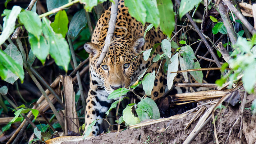 jaguar jungle predators