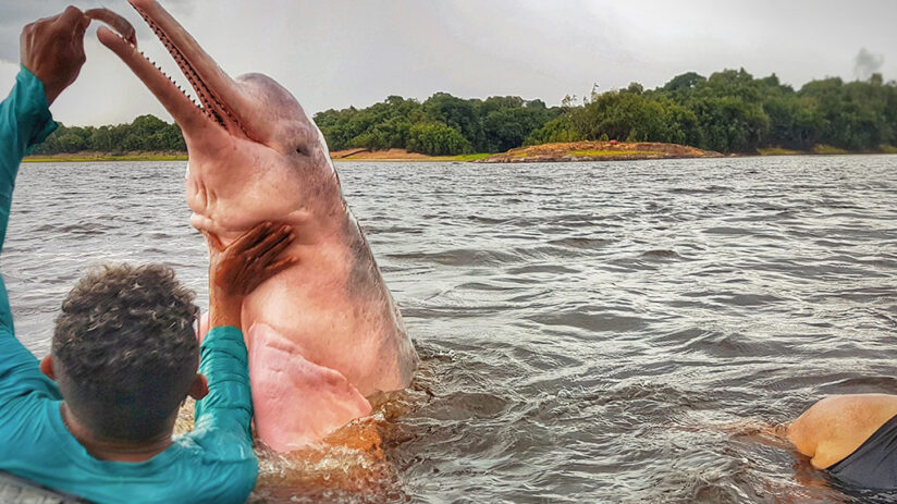 pink river dolphin myths