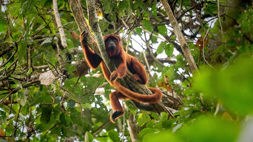 red howler monkey amazon rainforest animals