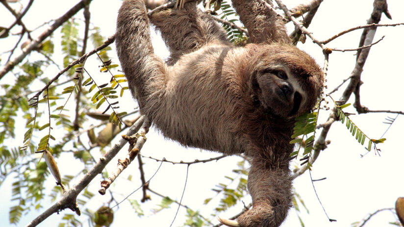 sloth amazon rainforest animals