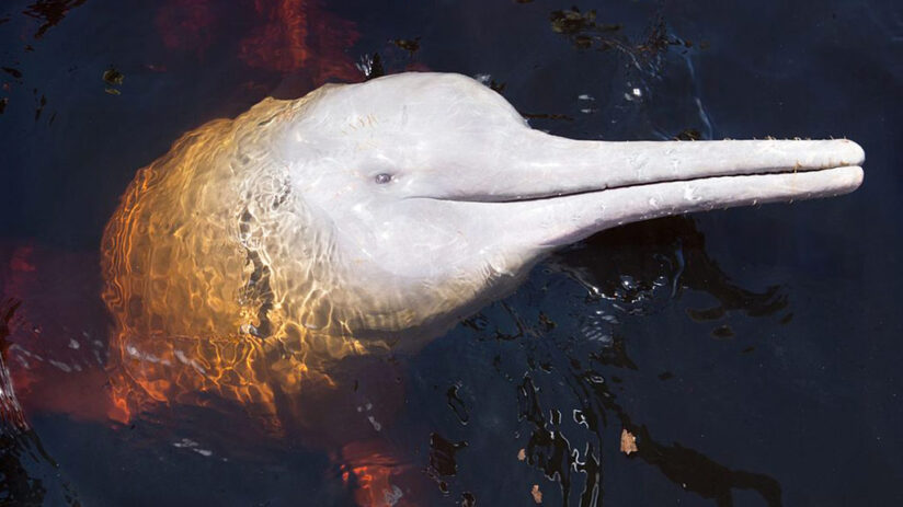 smartest animals pink river dolphin