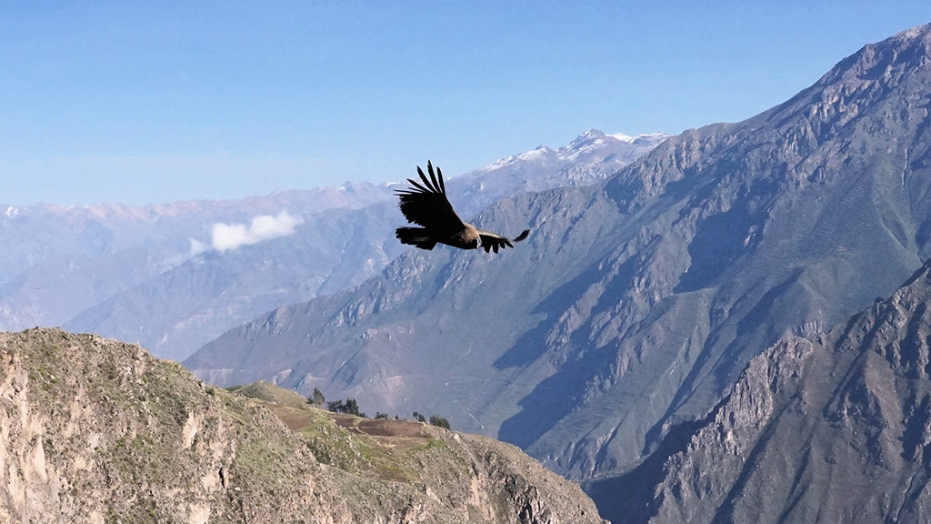 things to do in peru andean condor