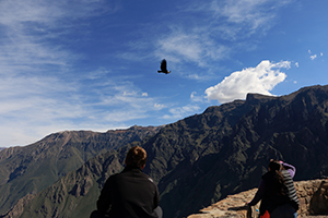 Condor flying in the Colca Canyon